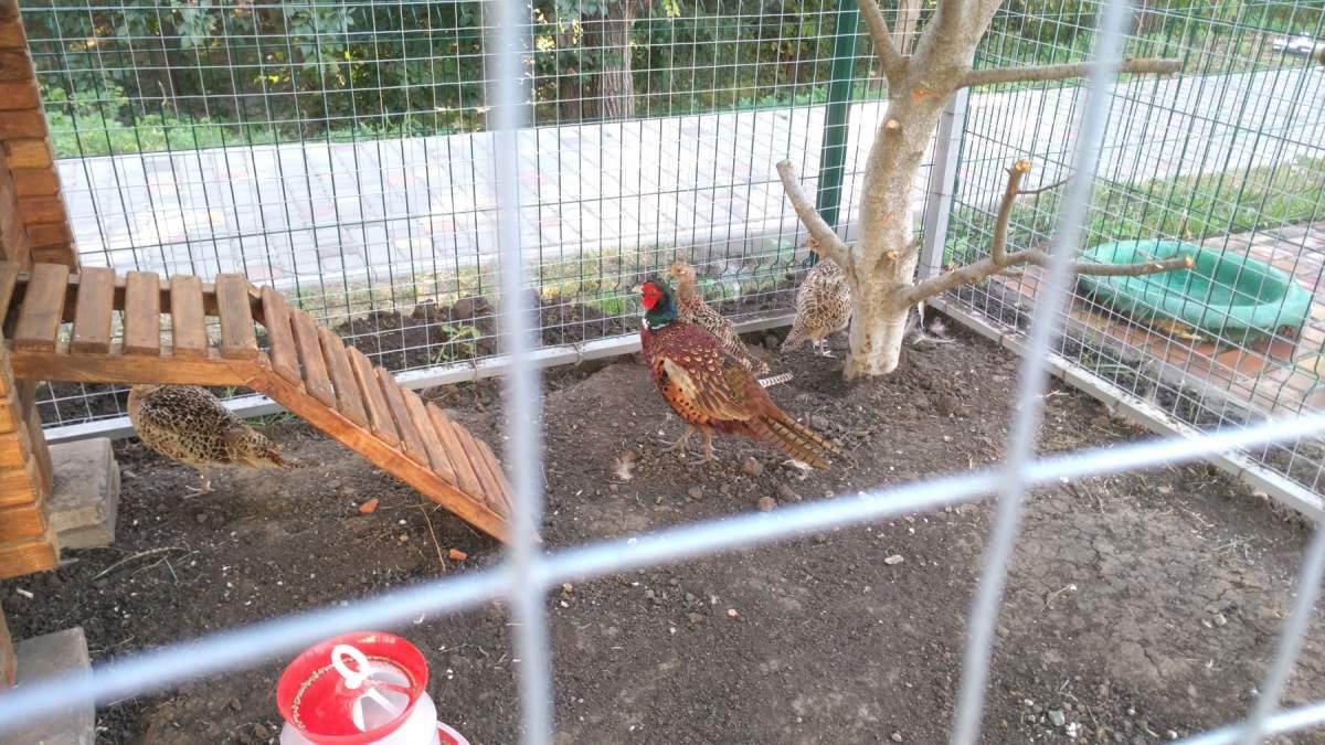 4-китайский-фазан